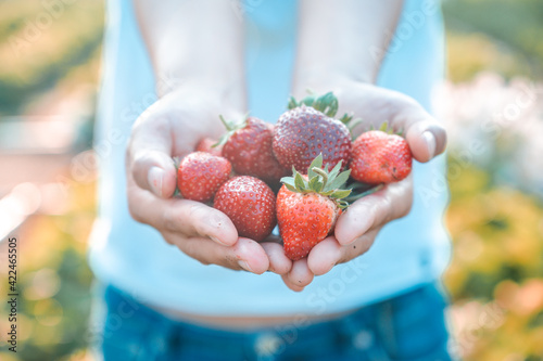 Fototapeta Gardener picking strawberries in the garden. Farmer with fresh organic fruite in harvest season. obraz
