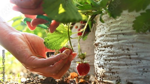 Fototapeta Gardener picking strawberries in the garden. Farmer with fresh organic fruit in harvest season. obraz