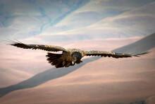Immature Bearded Vulture In The KwaZulu Natal Drakensberg Mountains