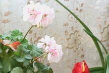 Soft Pink Geranium
