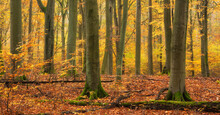 Forest Of Old Beech Trees In Full Autumn Foliage