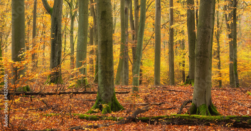Fototapeta Forest of old beech trees in full autumn foliage