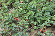 Small Bushes With Berries In A Garden With Hay. Growing Strawberries In The Village