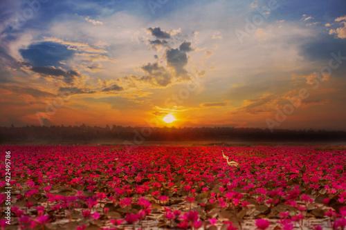 Fototapety, obrazy: Red Lotus Sea at sunrise at Nong Han Lake, Udon Thani, Thailand