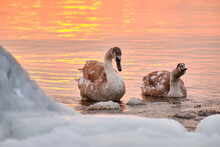 A Couple Of Swan Chick In Water During The Strong Frost In Finland. On The Foreground Ice-covered Seashore, On The Background Sunset.