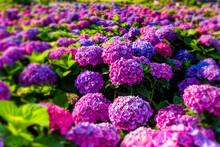 Purple Hydrangea Flowers Are Blooming Beautifully In Yangmingshan National Park, Taiwan.