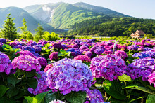 Purple Hydrangea Flowers Are Blooming Beautifully In Yangmingshan National Park, Taiwan.
