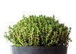 canvas print picture Pot Of Growing Thyme