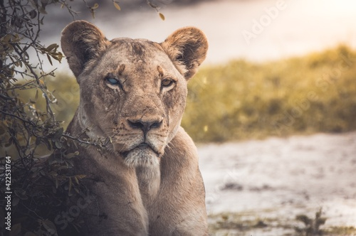 Photo lioness and cub