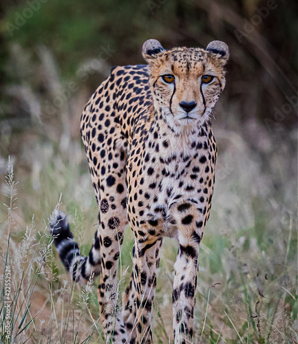 Fotografie, Tablou Very thin female cheetah walks through bush in Kenya, hunting