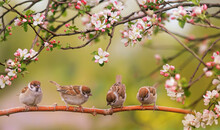 Little Funny Birds And Birds Chicks Sit Among The Branches Of An Apple Tree With White Flowers In A Sunny Spring Garden