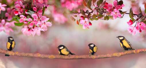 Chickadee birds sit in the spring sunny garden on the branches apple trees with pink flowers