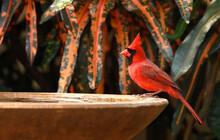 Male Northern Cardinal Visits A Backyard Birdbath On A Hot Summer Day.