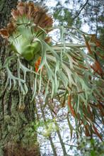 Staghorn Ferns Or Elkhorn Ferns, Platycerium Bifurcatum