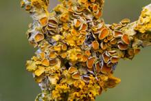 Closeup Of Common Orange Lichen Growing On A Branch Of Elder