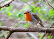 robin, bird, red, nature, wildlife, branch, tree, animal, wild, garden, birds, beak, breast, feathers, perch, erithacus rubecula, redbreast, spring, christmas, feather, perched, european robin, winter