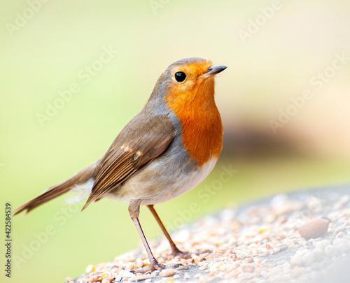bird, robin, nature, wildlife, animal, red, wild, birds, beak, branch, garden, r Wallpaper Mural