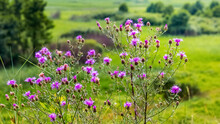 Thistle Thickets In The Meadow During Flowering