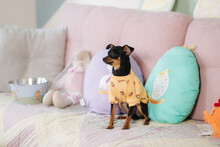 Cute Little Pet At Home On Sofa. Dog In Yellow Sweater. Egg-shaped Pillow. Easter