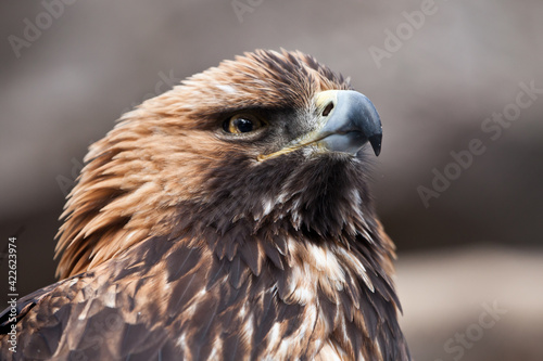 Fotografiet Hooked beak and sharp gaze of the golden eagle looking up attentively, the head