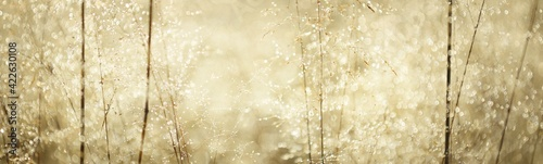 Fototapeta Country field in a fog at sunrise. Plants close-up. Soft sunlight, golden hour. Idyllic rural scene. Texture, background, wallpaper. Panoramic image, copy space, graphic resources. Nature, environment obraz