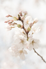 Close Up Of A Beautiful Branch Of Blossoming White And Pink Cherry Tree Blossom In Spring