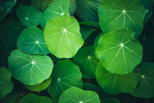 Minimalist Nature Background With Green Leaves With Veins In Sunlight. Beautiful Minimal Backdrop With Leaves Of Nasturtium In Macro. Nature Minimalism With Greenery. Vivid Natural Texture Of Leaves.