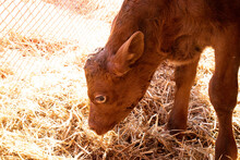 Little Red Bull Calf Sniffing At Some Hay