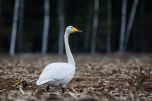 Selective Focus Photo. Whooper Swans, Cygnus Cygnus On Field. First Migratory Birds.