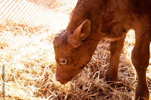 Little Red Bull Calf Sniffing At Some Hay Tapéta, Fotótapéta