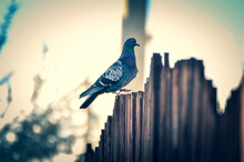 Pigeon On The Fence