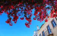 Large And Colorful Flowers Hanging From Balconies In Lisbon