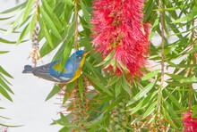 Male Northern Parula (Setophaga Americana) Eating Nectar From A Weeping Bottlebrush Tree (Melaleuca Viminalis) Showing Blue And Yellow Bird Colors, Cryptic Bird
