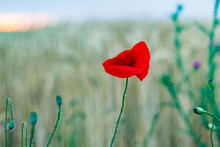 Closeup Shot Of A Red Poppy Flower In The Field With A Bokeh Background