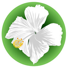 Image Of A Hibiscus White Flower On Green Background