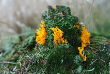 Yellow Edible Coral Mushroom (Ramaria Flava) Close-up View Found Widely In Europe