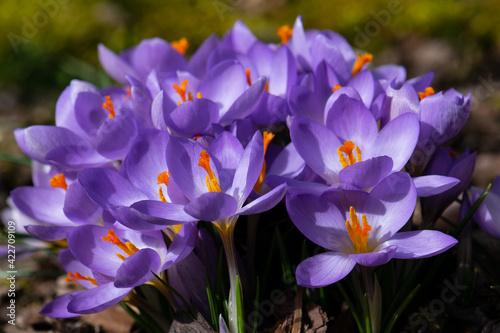 Fototapeta wiosenny bukiet krokusów obraz