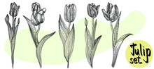 Tulips  Isolated.Set Hand-drawn Flowers  And Leaves. Vector Illustration. Doodle Flower.Floral Design. Sketch Illustration.line Art. Dea For Business Visit Card, Typography Vector,print For T-shirt