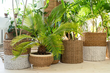Plant Cycas, Various Palms In Wicker Pots On The Wooden Floor In Living Room. Home Garden, Urban Jungle Concept.