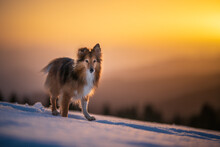 Shetland Shepherd Dog In Mountain Landscape With Winter, Snow, Golden Hour, Sunset