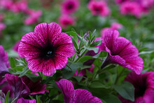 Close Up Purple Petunia Flowers