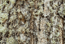 The Bark Of The Tree, The Texture Of The Wood, Overgrown With Moss. The Bark Of A Thick Deciduous Tree Can Be Seen As A Delicate Layer Of Moss Which Gives A Greenish Color.