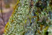Trompetenflechte Cladonia Fimbriata Flechte Unterholz Baum Sorediöse Oberfläche Mint Grün Trichter Becher Stämmchen Makro Mikro Klein Nahaufnahme Details Aliens Baumstamm Licht Sonne Versteckt Moos