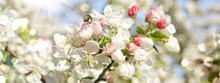 Apple Tree With Blossom And Bumblebee - Spring Background Banner