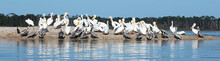 White And Brown Pelicans Gathered On An Oyster Shell Mound.