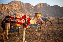 Dromedary Camels (Camelus Dromedarius) Farm In The Rocky Hajar Mountains In Sharjah, United Arab Emirates, Camels Covered With Blankets For Night.
