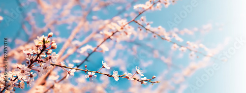Canvas Bright spring background for banner with cherry blossoms