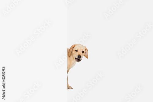 Obraz Little Labrador Retriever playing on white studio background - fototapety do salonu