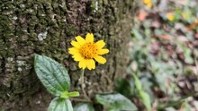 Wild Yellow Flower With Background Of An Old Tree Trunk And Moss And Leaf Litter