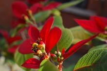 Poinsettias Is Top-selling Christmas Plant. Its Main Attraction Is Not The Yellow Clustered Flower Buds In Its Centre But The Red Leafy Parts When Buying It Assure It Has The Buds Ideally Not Yet Open